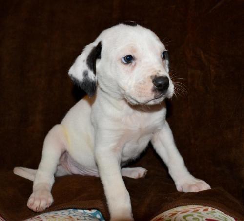 Adopt Desperado The Eagles Pups Adoption Pending On Boxer Dogs