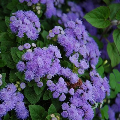 Grow Heirloom Ageratum Plant Blue Mink Ageratum SeedsExcellent