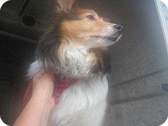 Inverness Fl Sheltie Shetland Sheepdog Mix Meet Chica Avail08 04 16 A Dog For Adoption Http Www Adoptapet Com Pet Dog Adoption Pets Shetland Sheepdog