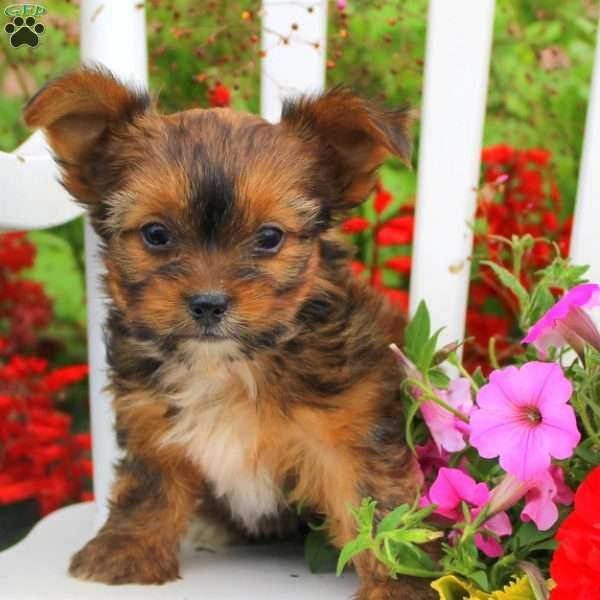 Sunny Akita Mix Puppy For Sale In Pennsylvania Shorkie Puppies