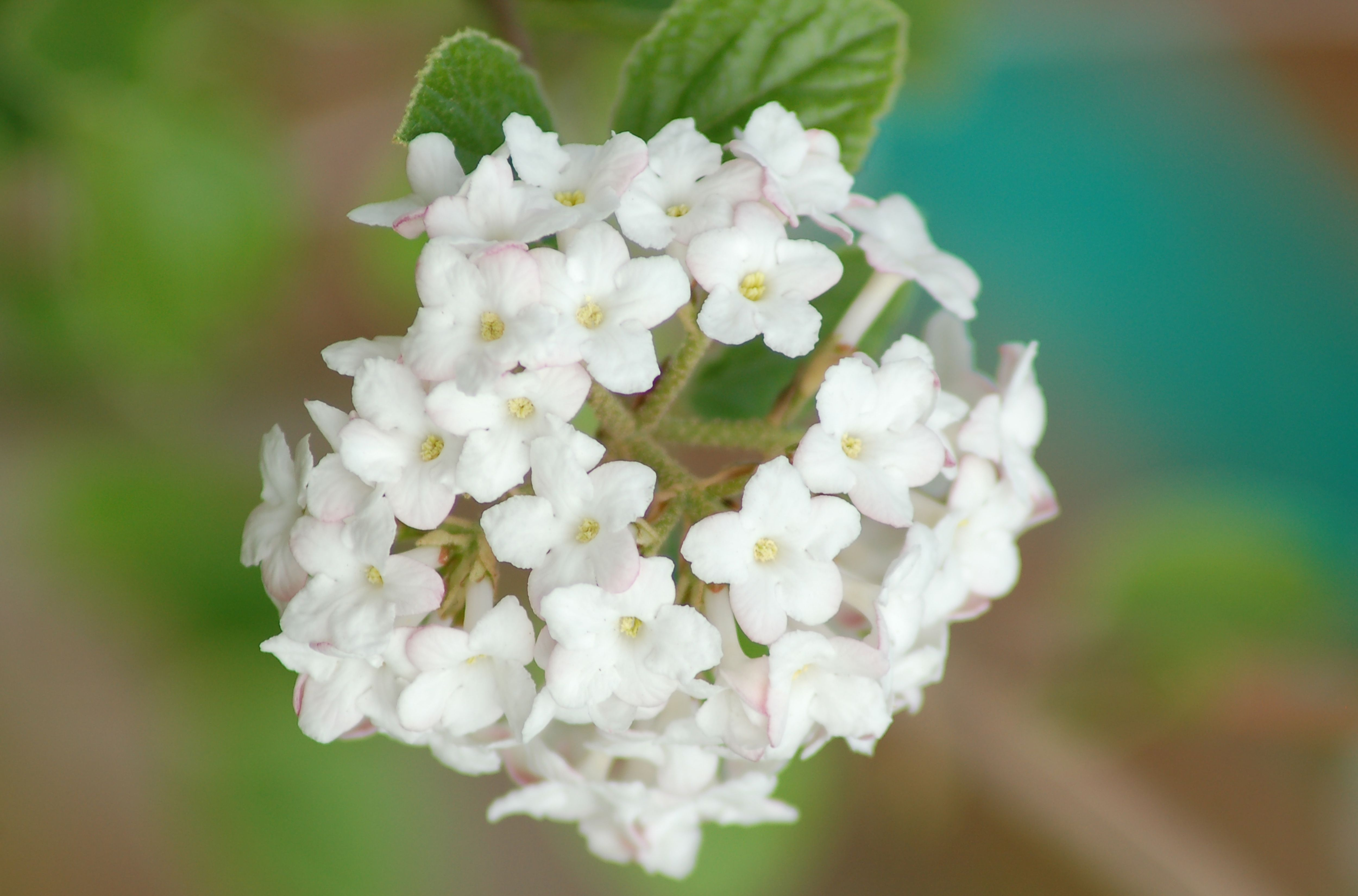 This Viburnum Is So Fragrant They Put Spice In Its Name Shrub