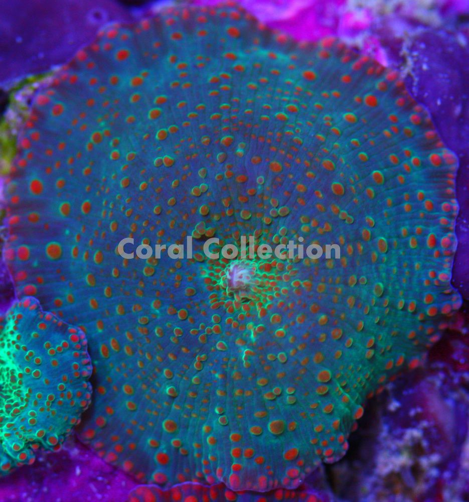 Cc Nuclear Sunset Mushroom Stuffed Mushrooms Coral Saltwater Aquarium