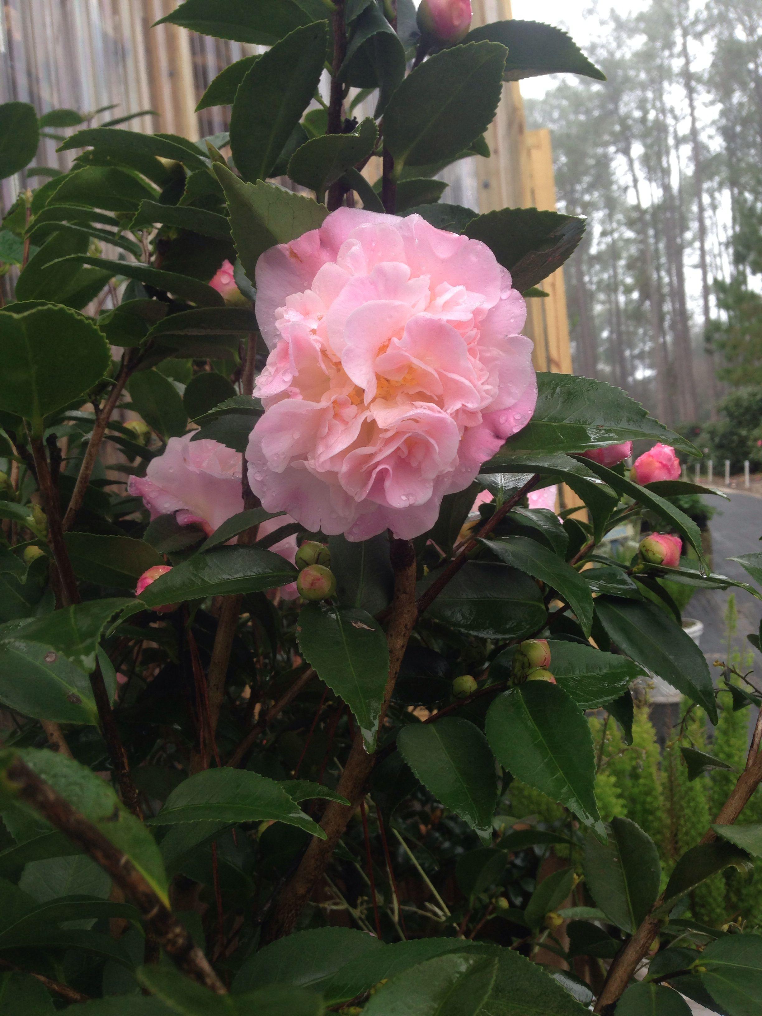 Camellia High Fragrance Bob Wines Camellia Gardens Ocala Fl Shade Garden Floral Wreath Floral
