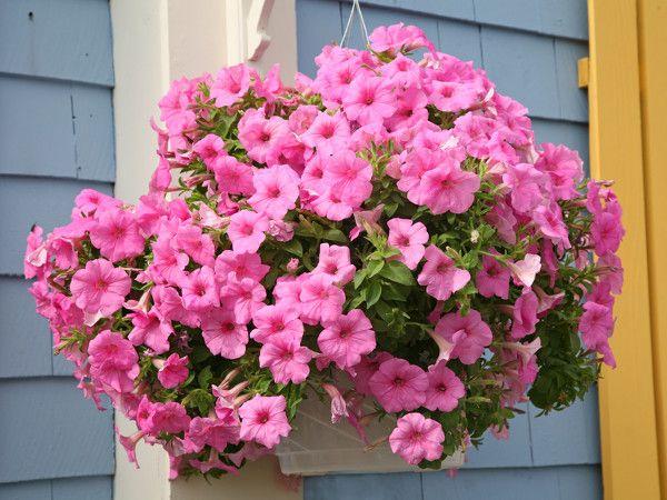 Kwiaty Balkonowe Zwisajace Surfinia Wiszace Kosze Petunie