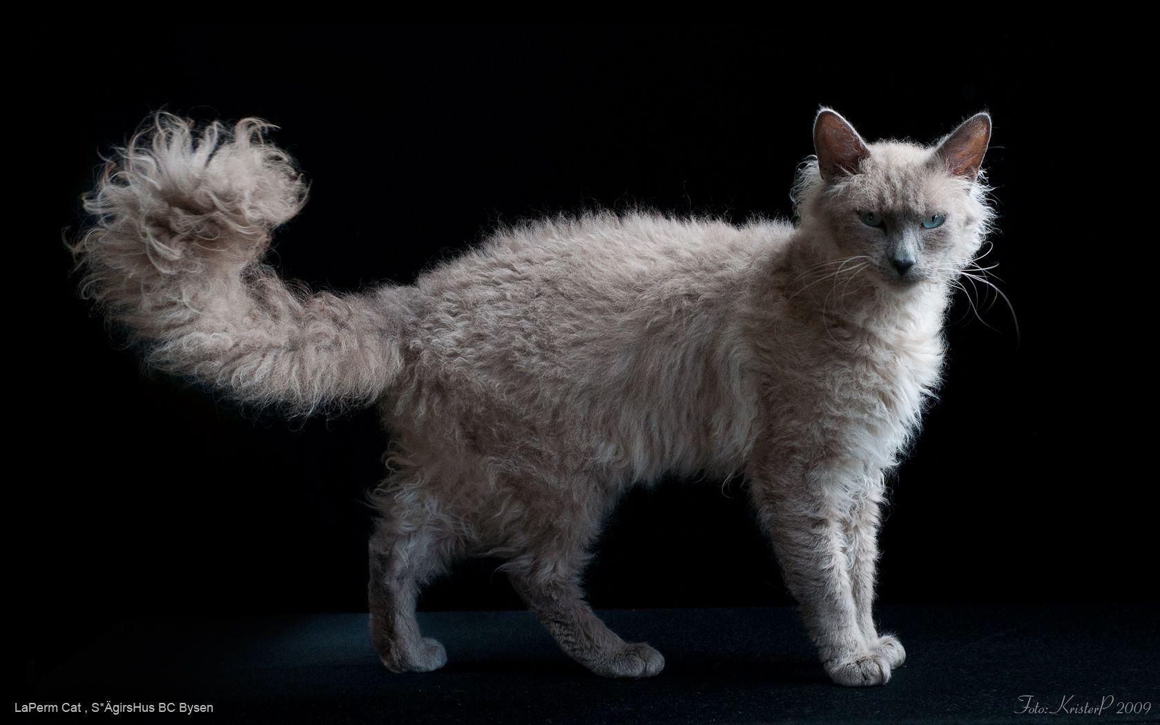 Laperm Cat Breeds Best Cat Breeds Laperm