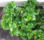 Alternanthera Sissoo Brasilian Spinach Spinach Perennial Plants