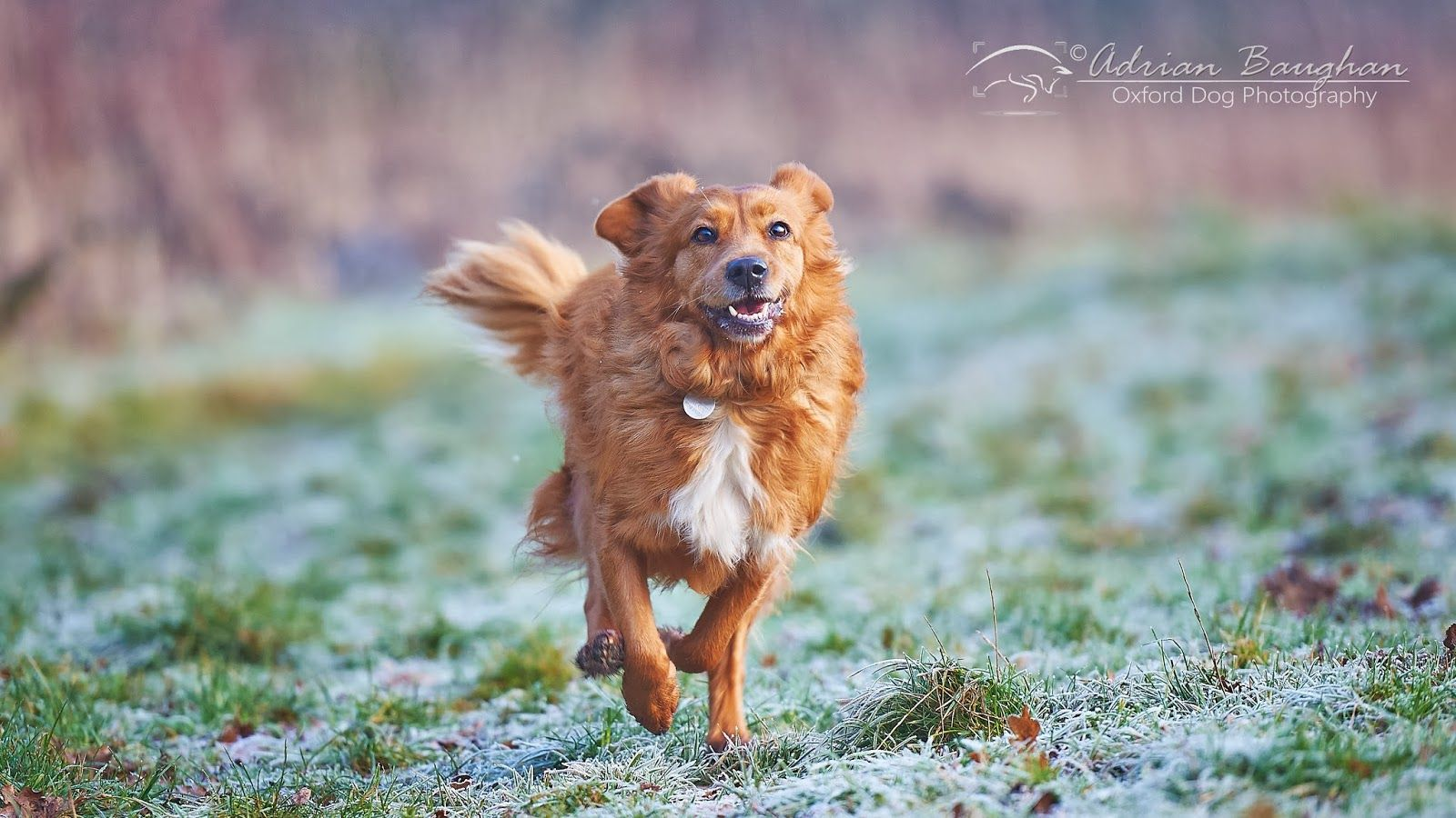 Oxford Dog Photography Foggy And Frosty Toller Sprint Dog