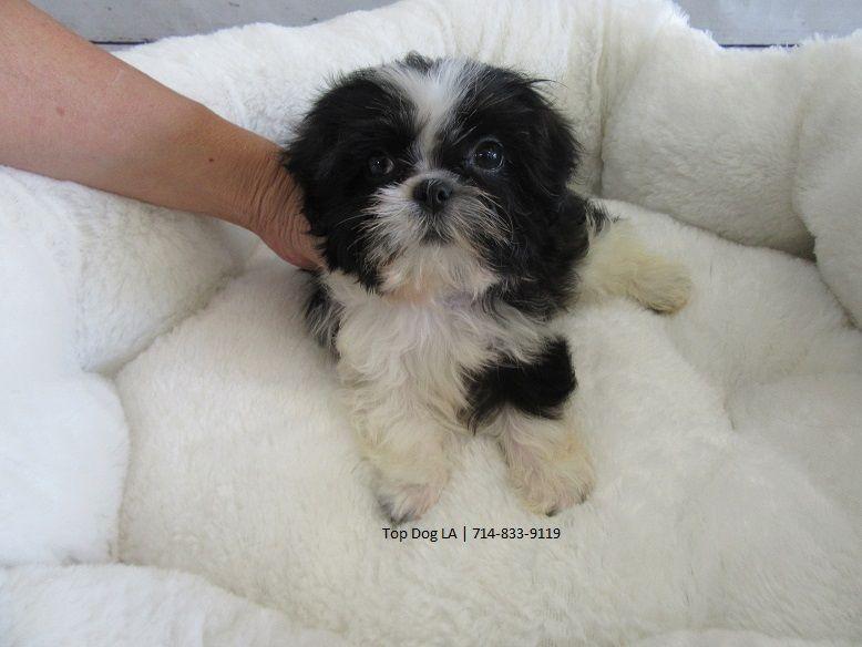 Shih Tzu Puppy For Sale In La Mirada Ca Adn 40725 On Puppyfinder