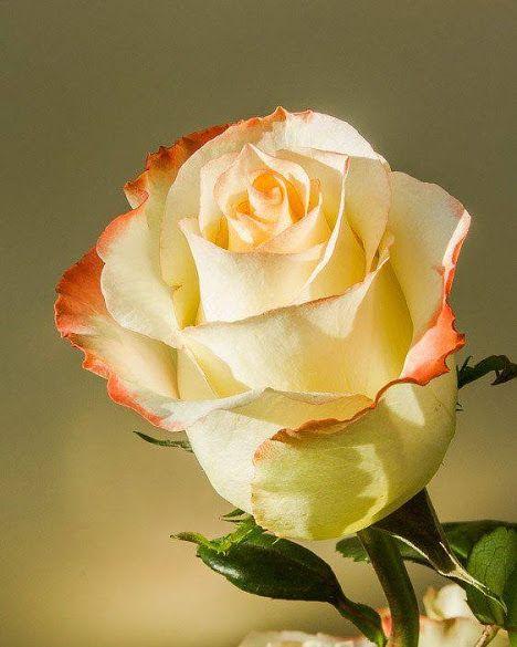 Flores - Google+