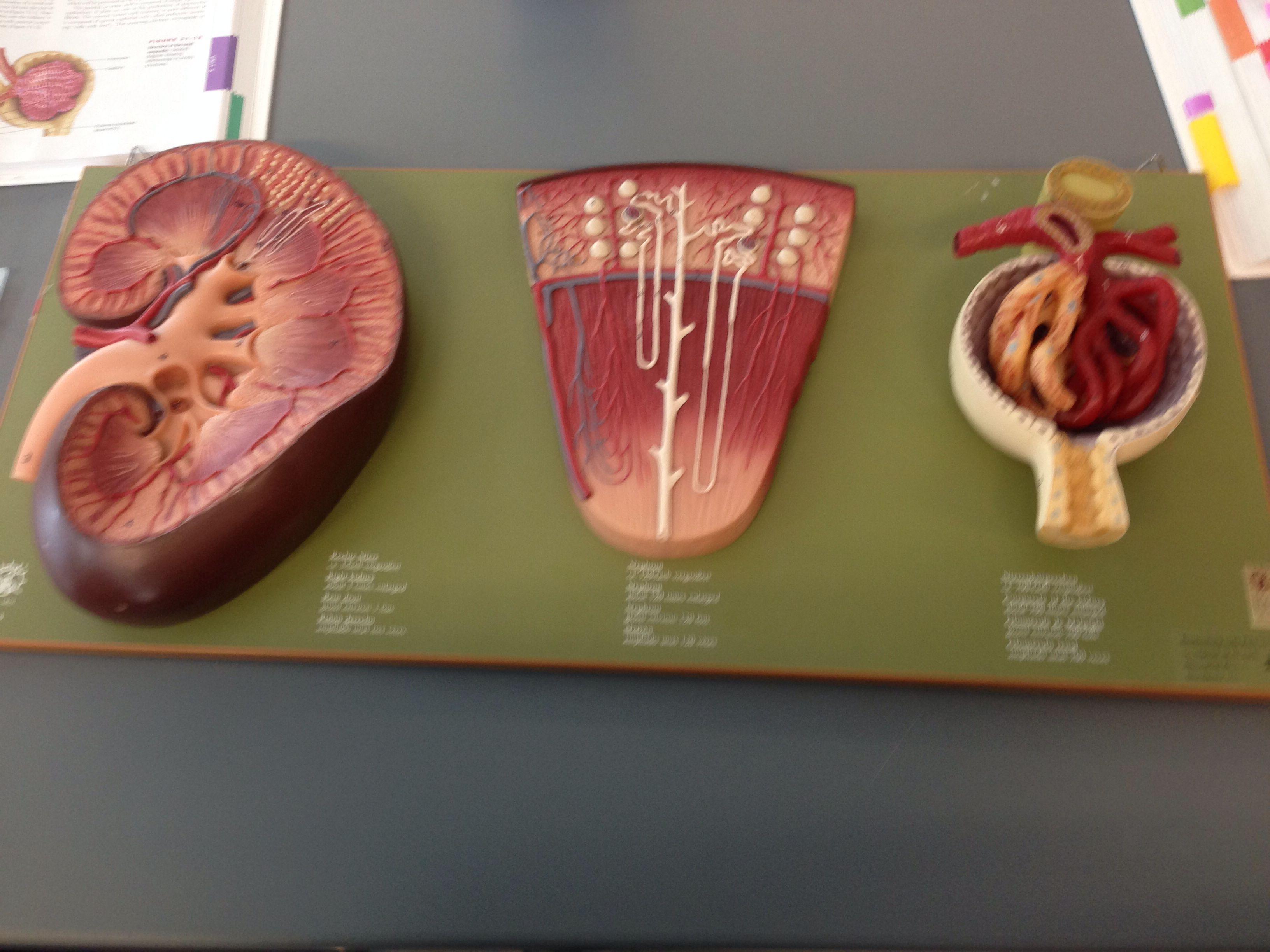 Urinary System Lab Model