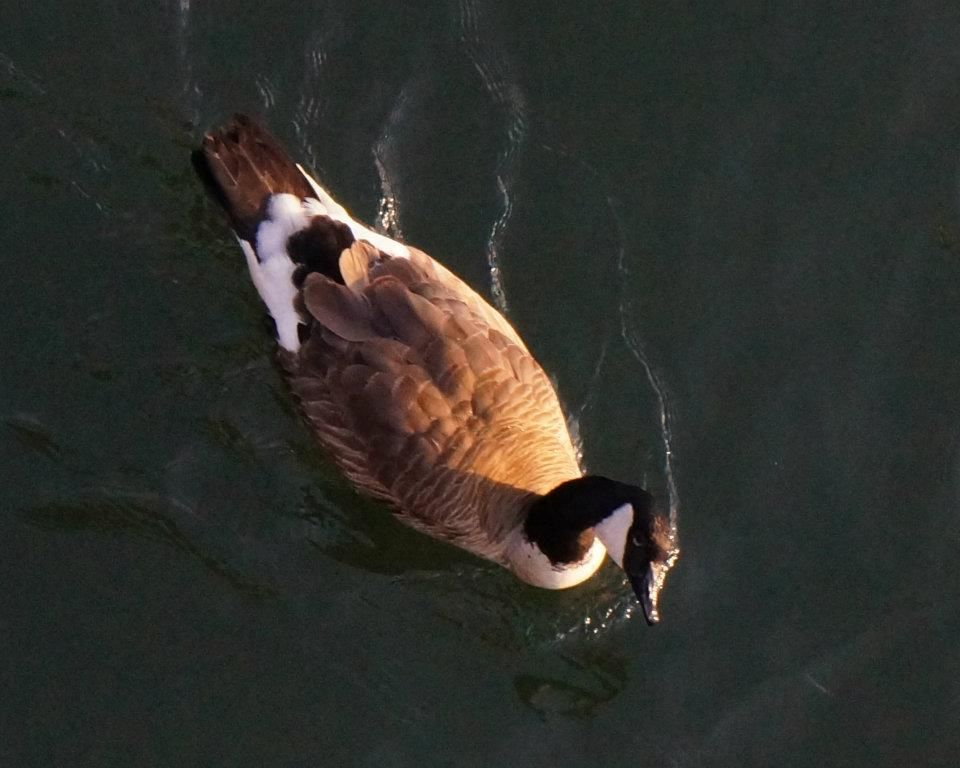 Its a duck!