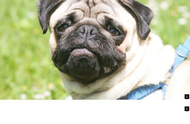 Read More About Pug Cross Puppies For Sale Please Click Here For