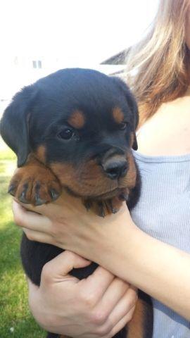 Purebred Ckc Rottweiler Puppies 1200 In Norfolk County