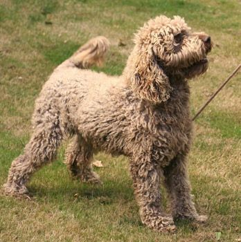 Rosie Finn Labradoodle Puppy Labradoodle Puppies For Sale Australian Labradoodle Puppies