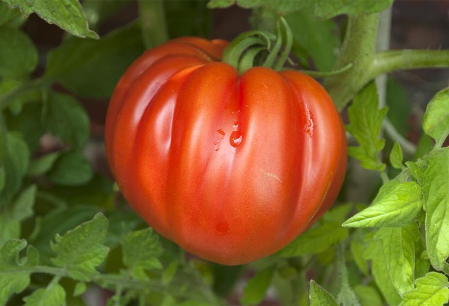 Les 10 meilleures variétés de tomates à cultiver ...