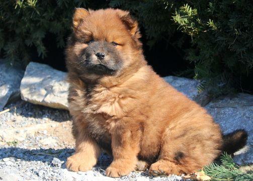 Chow Chow Puppy For Sale In Mount Joy Pa Adn 54059 On Puppyfinder