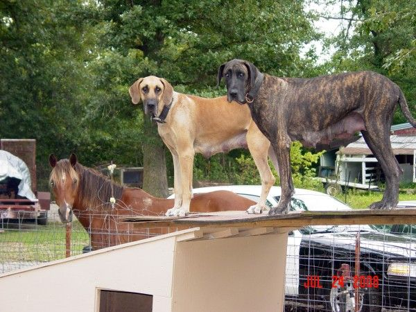 Horse With Fawn And Brindle Great Danes Great Dane Brindle