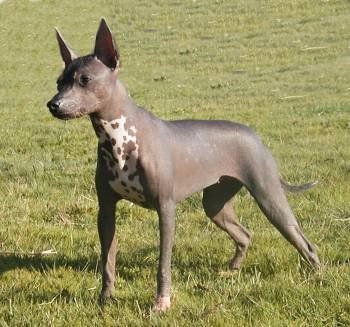 A List Of Animals That Start With X This Large Collection Of Animals Starting With X Contains The Meaning Hairless Dog Mexican Hairless Dog Unique Dog Breeds