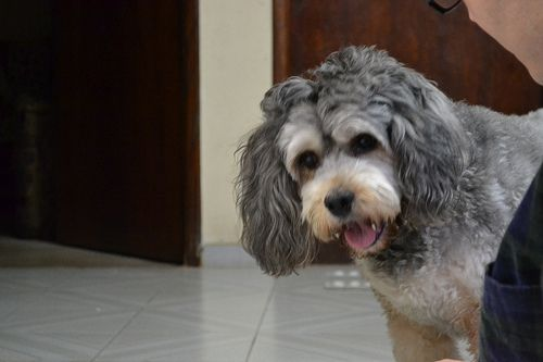Poodle #dogs