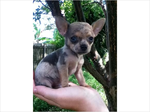 Extremely Tiny Chihuahuas Aprox 2 1 2 3 1 2lbs Full Grown 800