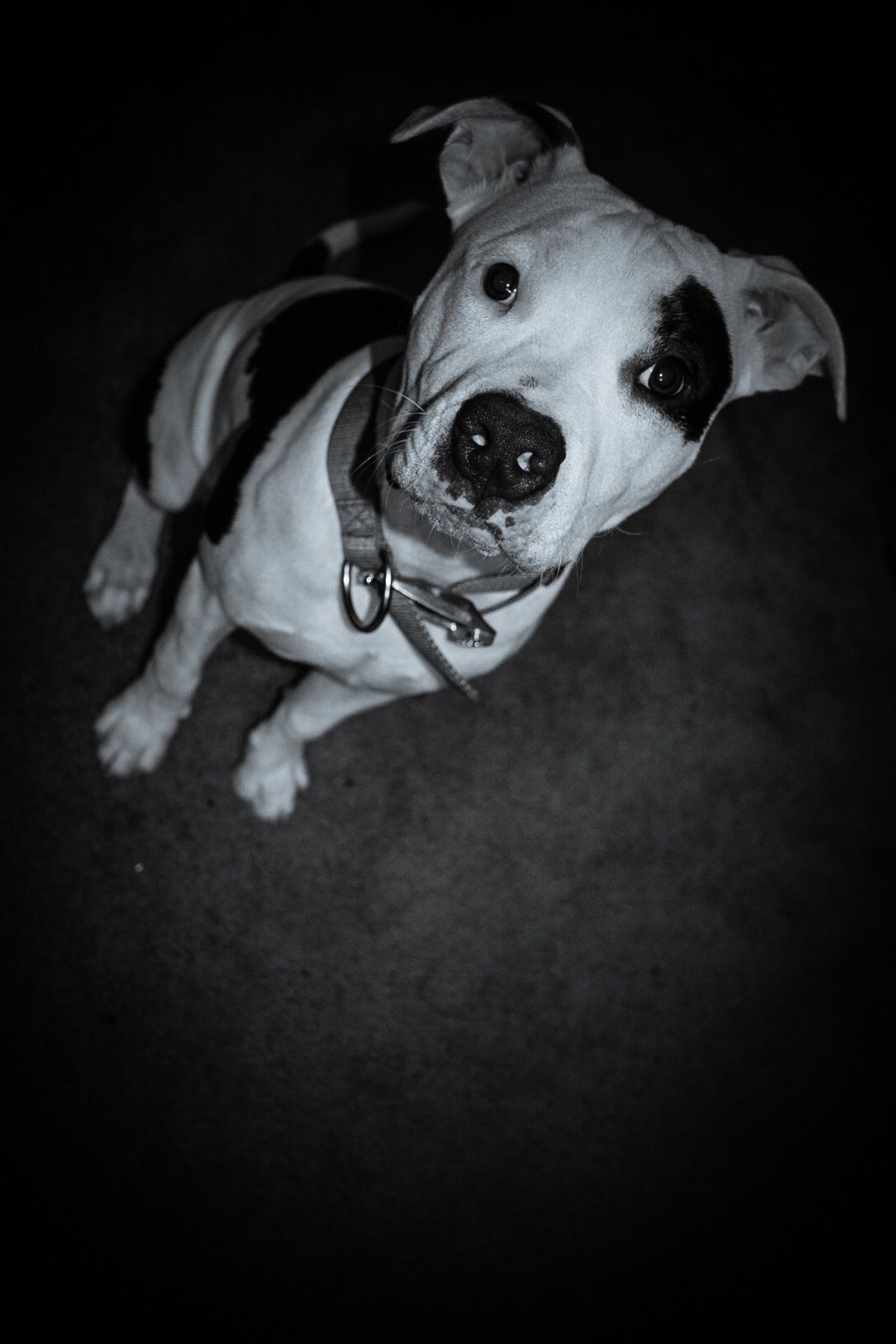 Loki The Pitty Pup Pitbull Pitbullpuppy Pup Animals Creatures