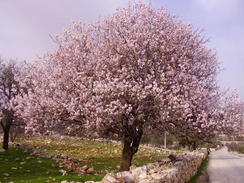 Would You Ever Have Guessed That An Almond Tree Is So Beautiful Almond Tree Flowering Trees Ornamental Trees