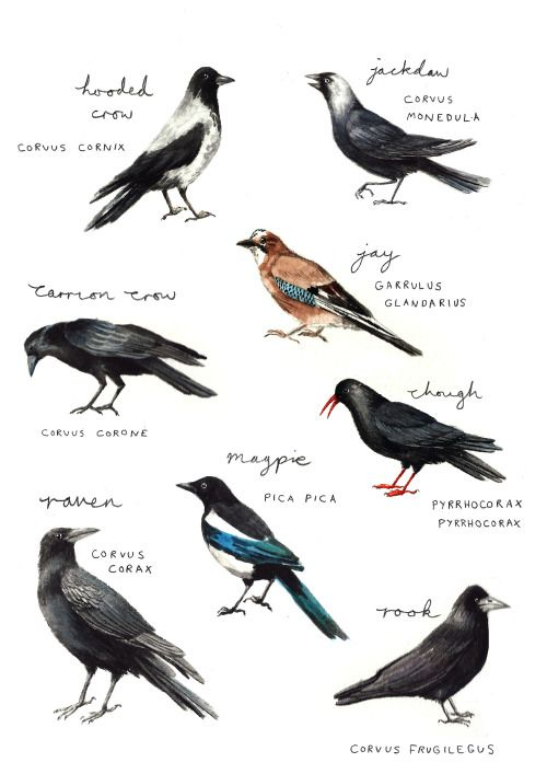 Corvid Species of Britain | Bird outline, Crow, Family poster