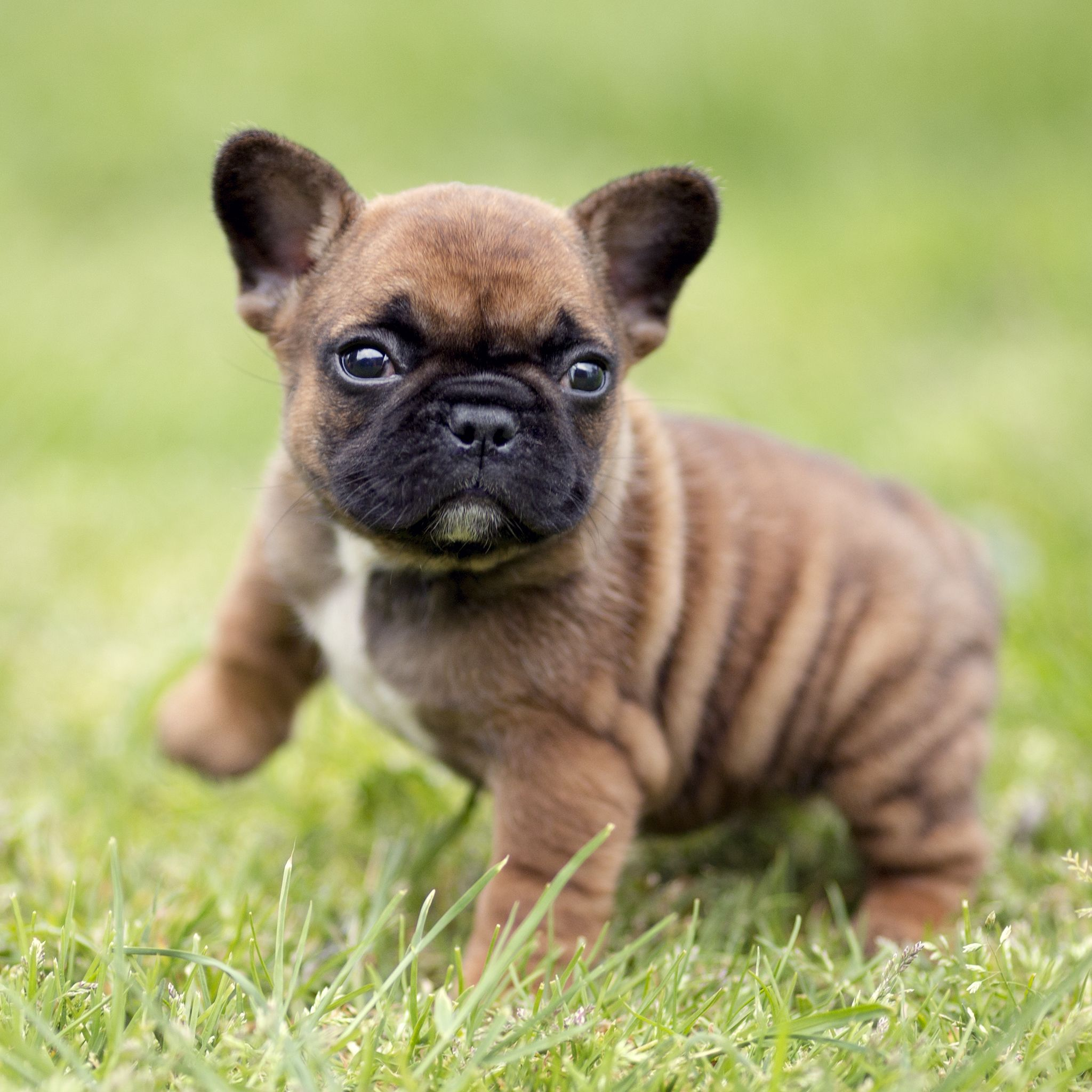 We have available puppies! ️ ️ ️ buldog French bulldog
