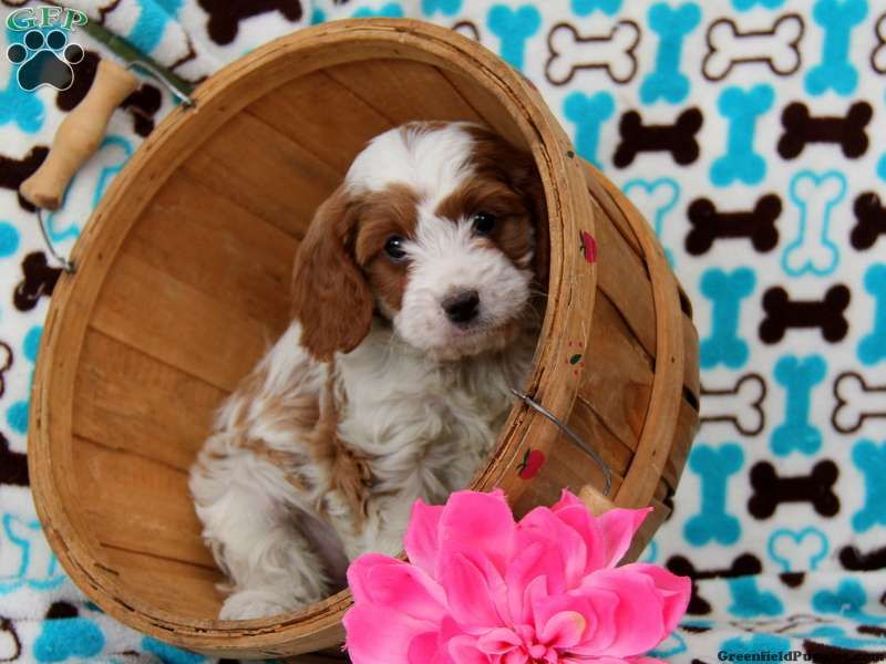 Olivia Cavapoo Puppy For Sale In Kinzers Pa Cavapoo Puppies For Sale Cavapoo Puppies Puppies