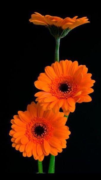 Wallpaper Iphone Android Background Followme Gerbera Flower Amazing Flowers Gerbera Daisy