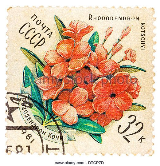 USSR - CIRCA 1981: stamp printed by USSR, shows Rhododendron kotschyl, circa 1981 - Stock Image