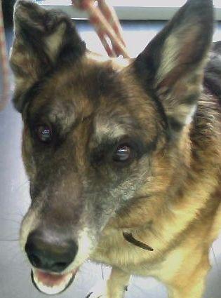 Lobi Sanchez #PastorAleman #veterinario www.veterinario.es