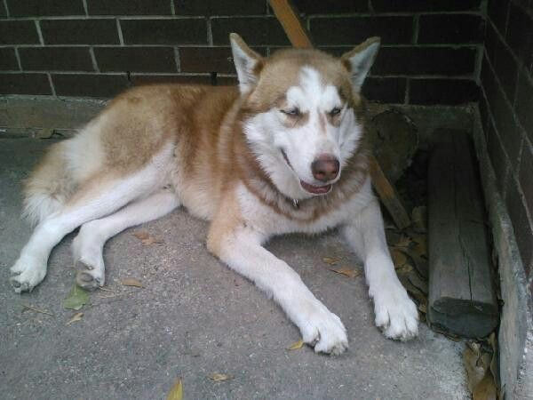 Houston Tx Lostdog 2 Lost Husky Dogs I Just Recently Lost
