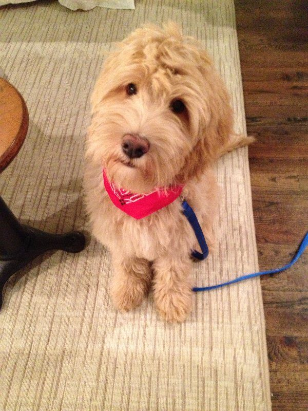 Retring Dog Rehome Dogs Labradoodle Animals