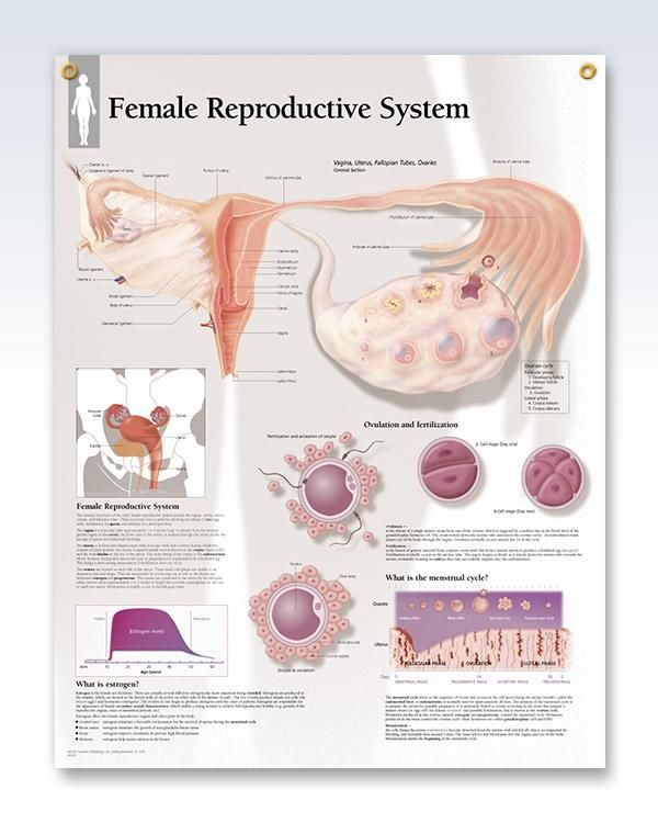 Female Reproductive System 22x28