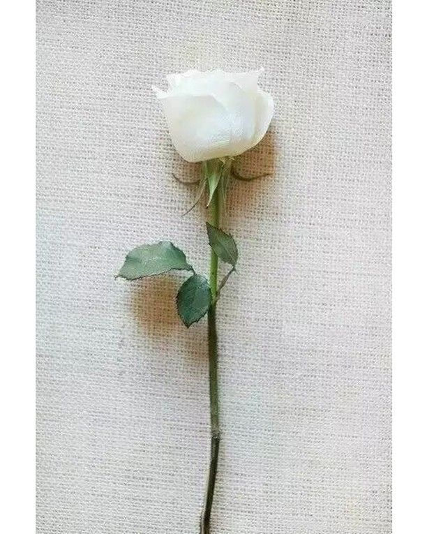What Does White Rose Means For You Flower Flowers Summer