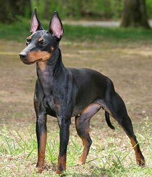 Manchester Terrier - The Manchester Terrier comes in two ...