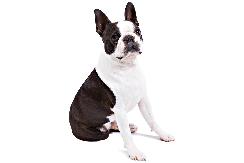 Boston Terrier Dog Breed Information Family Dogs Breeds Boston Terrier Dog Boston Terrier Lover
