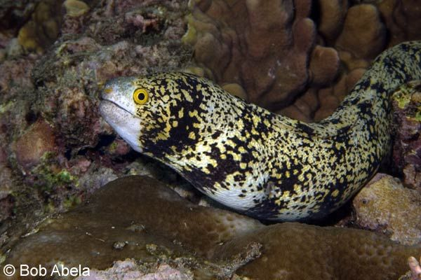 Snowflake Eel Or The Snowflake Morray Eel Is An Eel That Comes In A Varying Colors And Patterns They Have Poor Vision B Moray Eel Saltwater Tank Aquarium Fish