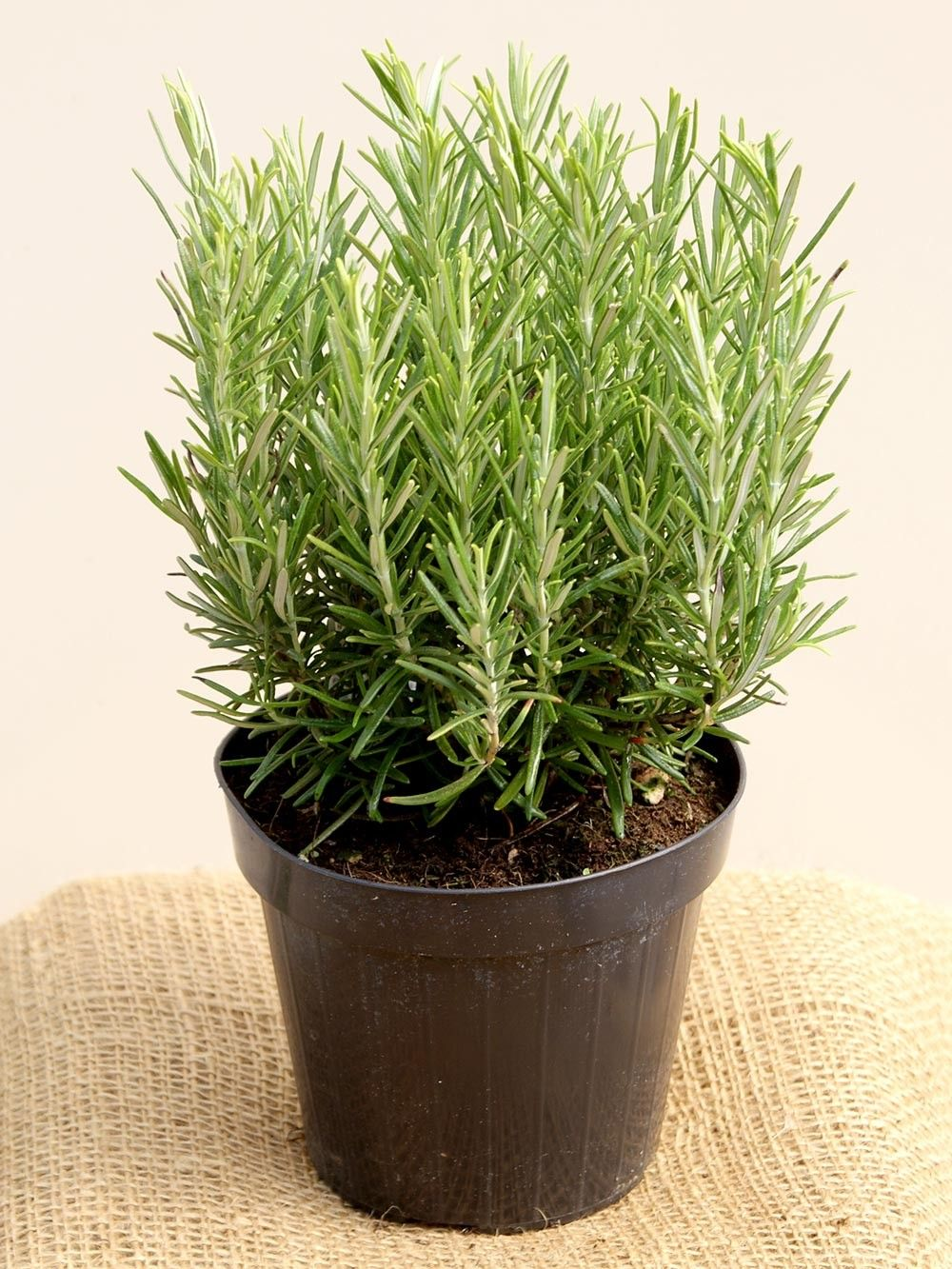 DIY Growing Rosemary Indoor and Outdoor | Комнатное садоводство ...