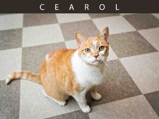 Cearol A670691 At Toronto Animal Services Cat Adoption Animals Humane Society