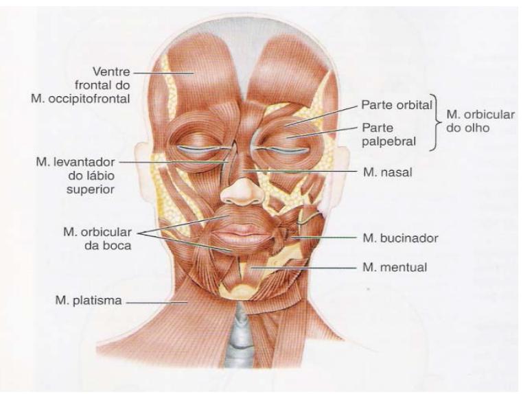 Anatomia da Face e do Pescoço | Pinterest | Músculos, Anatomía y ...