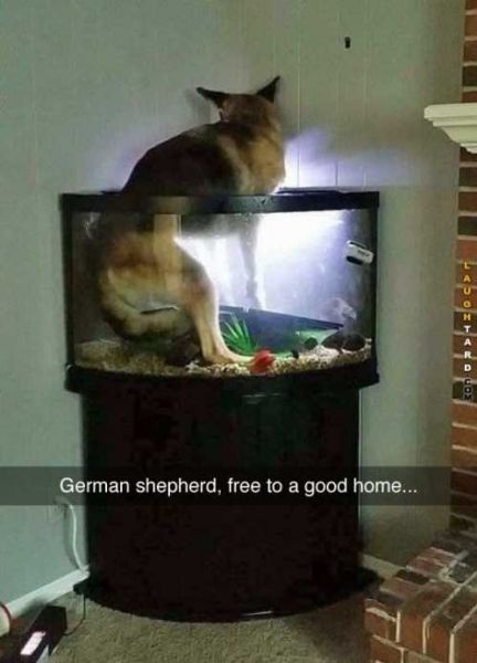 german-shepard-in-the-fish-tank | Funny animal pictures, Funny ...