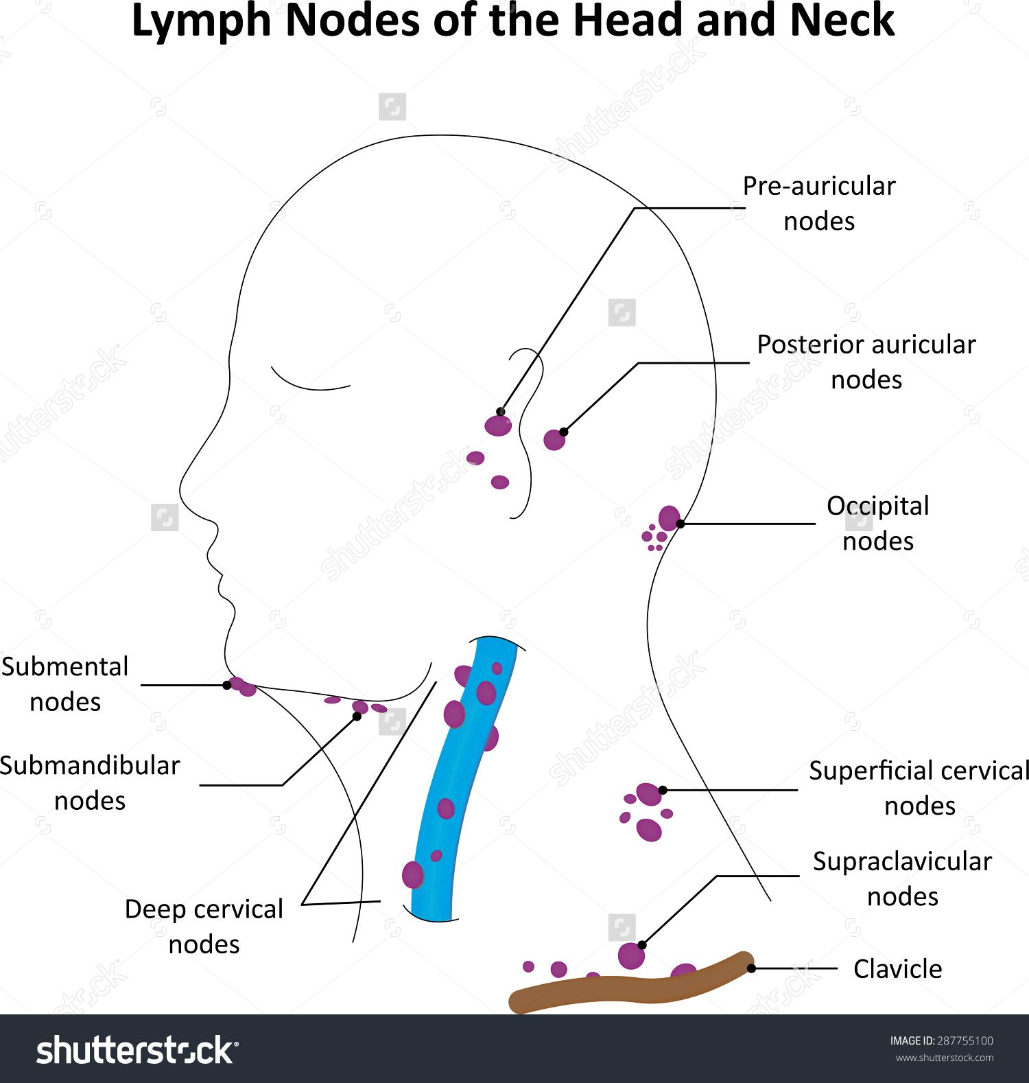 Stock photo lymph nodes of the head and neck labelled diagram stock photo lymph nodes of the head and ccuart Images