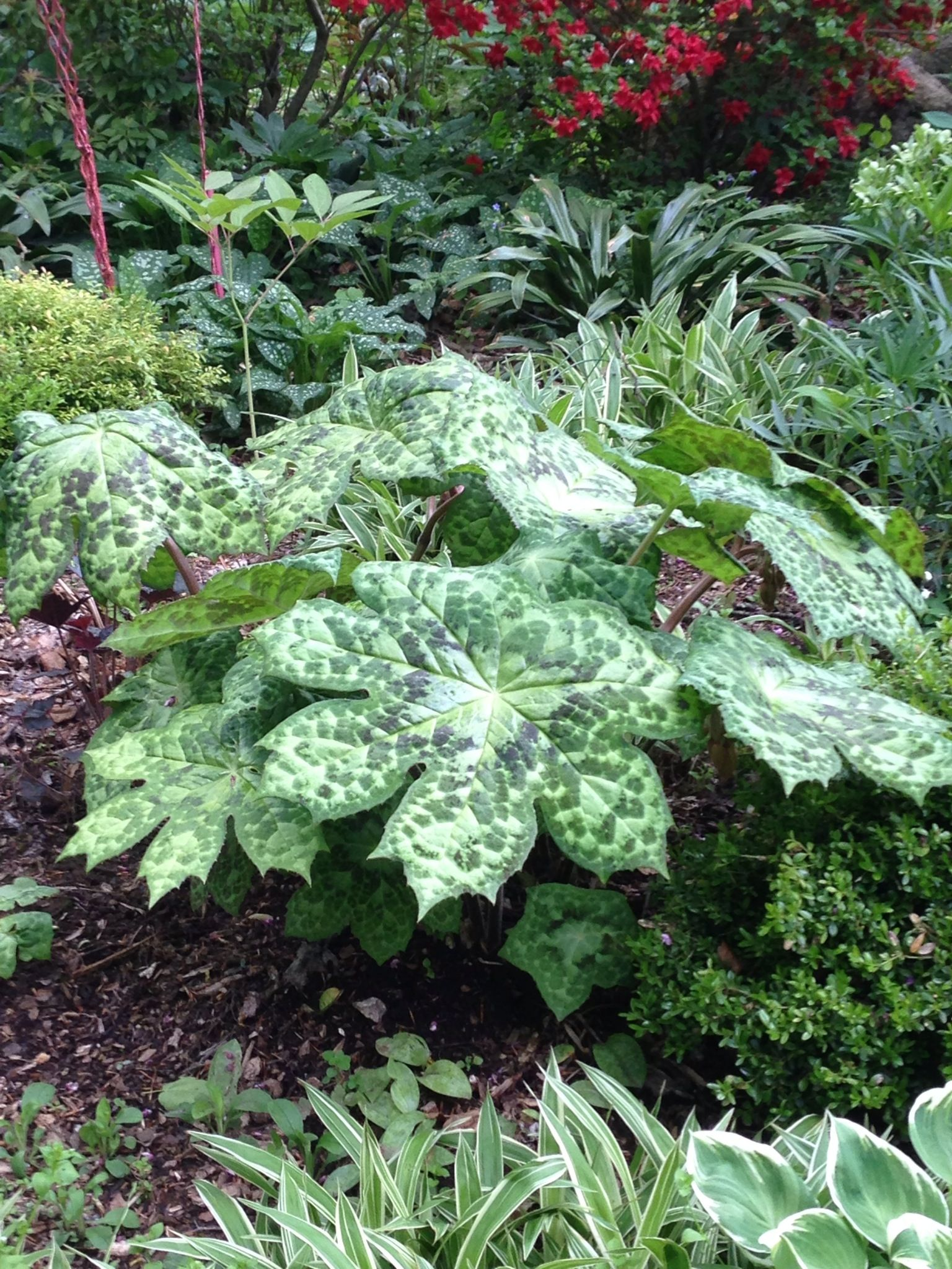 Podophyllum Spotty Dotty, beautiful foliage till frost. It's a clumpper.