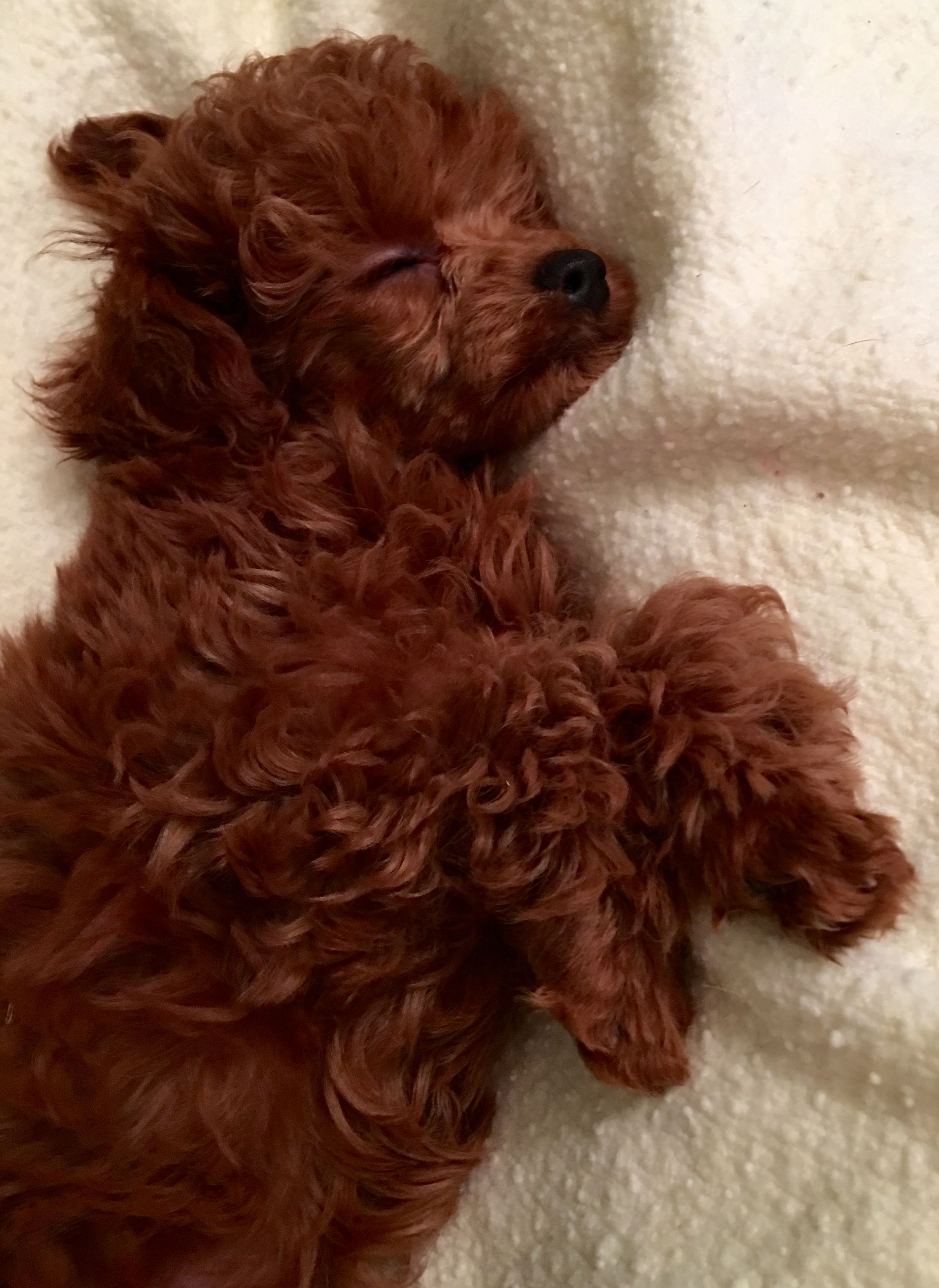 Sweet Sleeping Poodle Pup Poodlepups Poodle Puppy Poodle