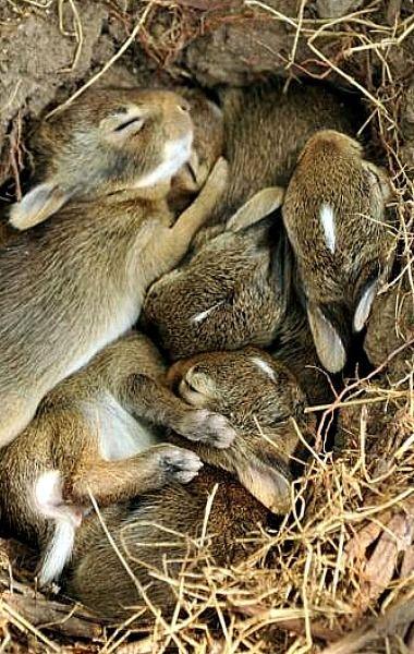 Wild Baby Rabbits Nest