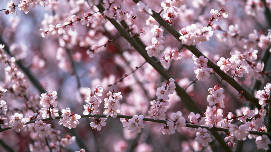 Download Cherry Blossom Branches Wallpaper Wallpapers Com In 2021 Cherry Blossom Wallpaper Sakura Cherry Blossom Blossom Flower