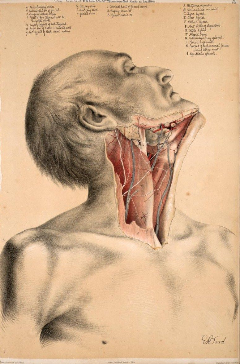 Deep dissection of the neck to show the muscles, jugular vein ...
