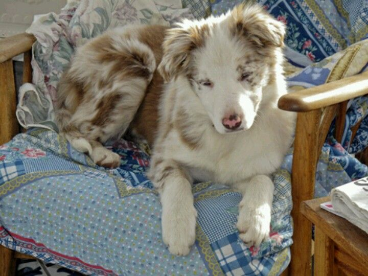 Red Merle Beautiful Border Collie Puppy Collie Collie Puppies